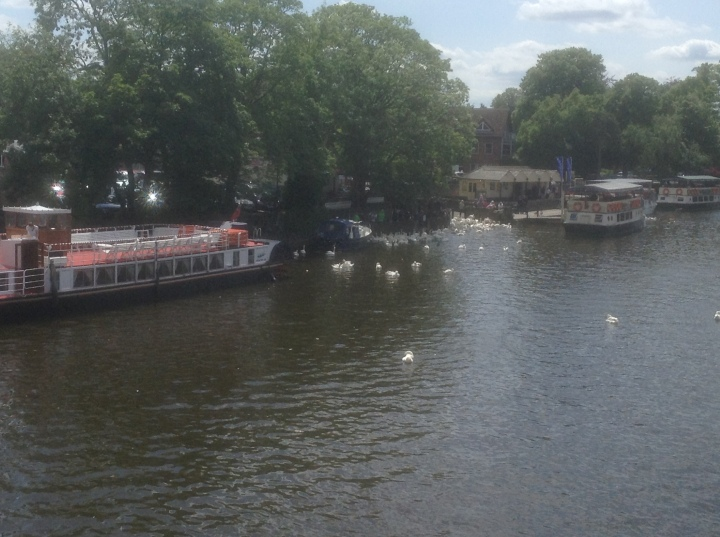 Swans feeding in Windsor 2015