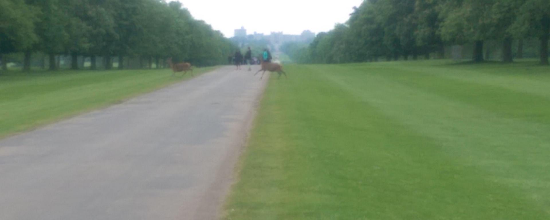 windsor great park deer crossing