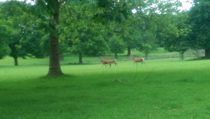 windsor great park stags walking