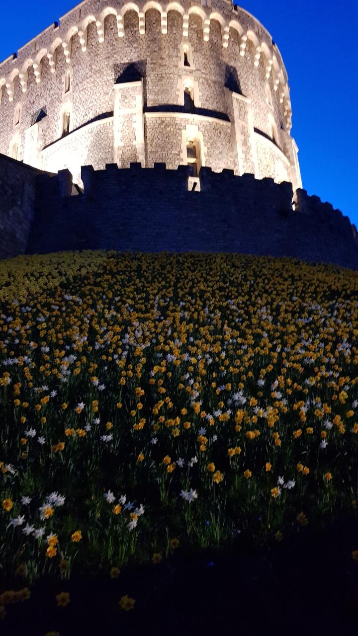 windsor castle daffodils