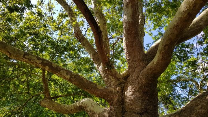 braywick park tree