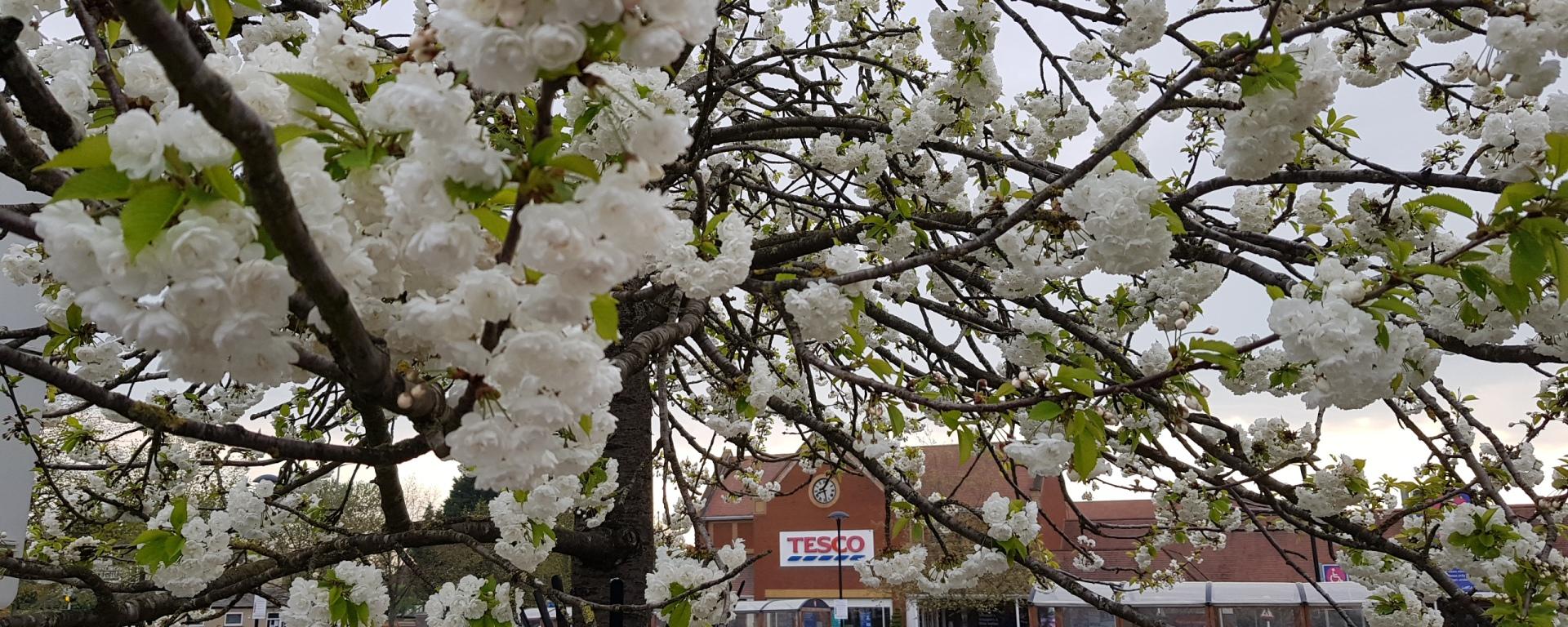 tesco in spring blossom
